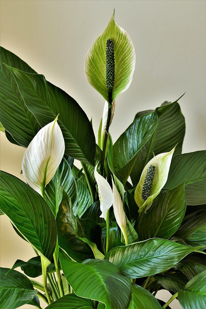Peace Lily for bedroom